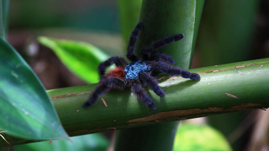 Mygale bleu